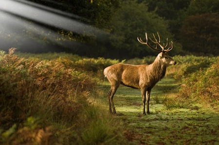 Red deer stag standing in sun beams in forest photo