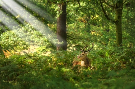 Red deer stag sitting in sun beams in forest photo