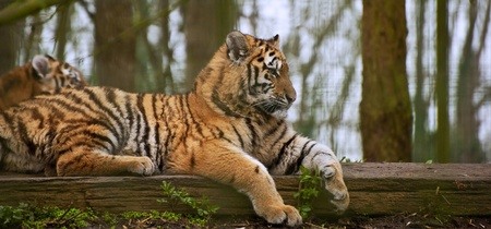tigress: Tigress relaxing on log with young cub behind blurred