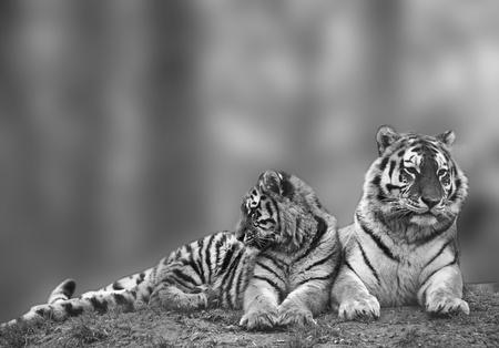 tigresa: Hermosa tigresa relajante en una colina cubierta de hierba con su cachorro en monocromo