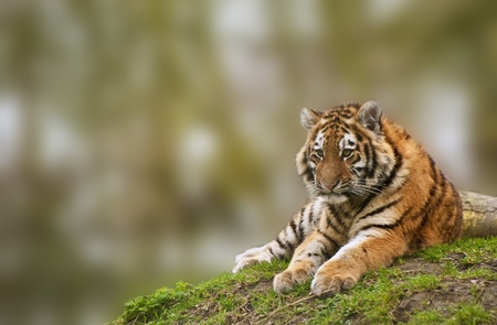 Sttunning tiger cub relaxing on a warm day photo