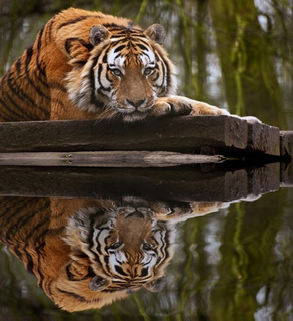 Stunning tiger relaxing on warm day with head on front paws reflection in water photo
