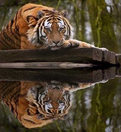 Tiger Superbe détente sur chaude journée avec la tête sur les pattes avant de réflexion dans l'eau Banque d'images