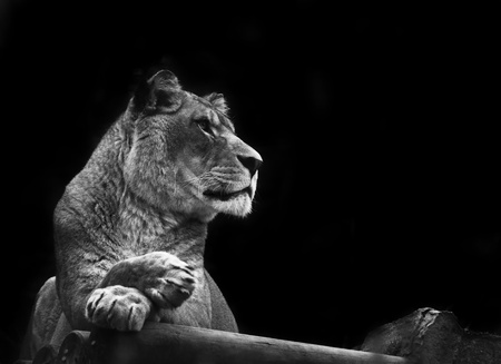Beautiful image of a lioness relaxing on a warm day in monochrome Stock Photo