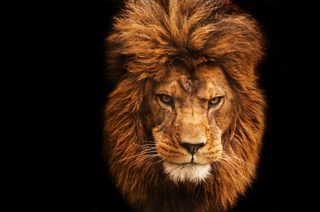 female lion: Eye catching portrait of male lion on black background Stock Photo