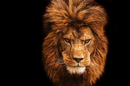 garra: Retrato de León macho llamativa sobre fondo negro Foto de archivo