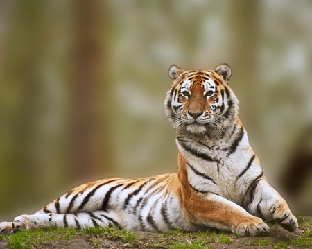 the amur: Beautiful tiger sitting upright and alert