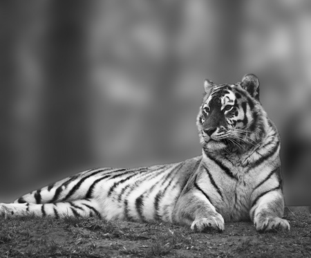 Beautiful tiger relaxing on grassy hill in monochrome photo