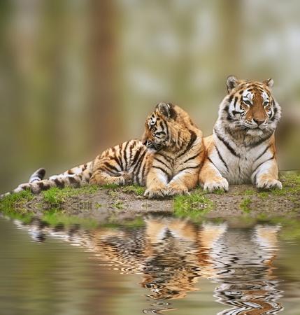 panthera: Bella tigress rilassante sulla collina erbosa con riflessione cucciolo in acqua