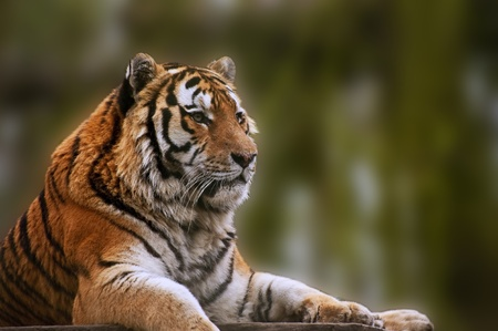 Beautiful tiger relaxing on warm day Stock Photo - 9171548