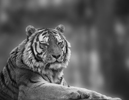 Beautiful tiger relaxing on warm day in monochrome Stock Photo - 9171554