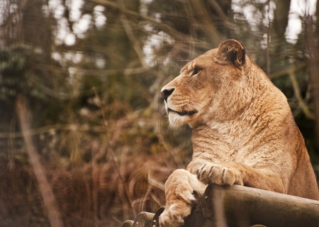 Beautiful image of a lioness relaxing on a warm day photo