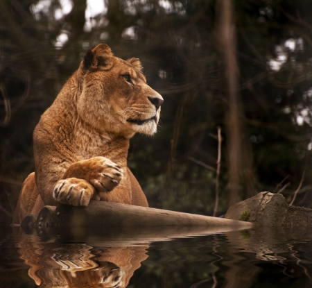 fangs: Beautiful image of a lioness relaxing on a warm day reflection in water