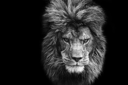 female lion: Eye catching portrait of male lion on black background in monochrome Stock Photo