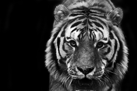 Eye catching portrait of male tiger on black background in monochrome photo