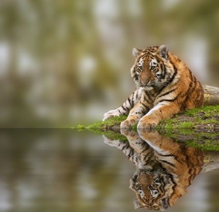 Sttunning tiger cub relaxing on a warm day reflection in water Banque d'images