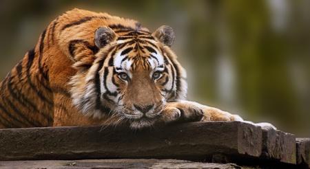 Atemberaubende Tiger mit Kopf auf Vorderseite an warmen Tag entspannen Pfoten Lizenzfreie Bilder