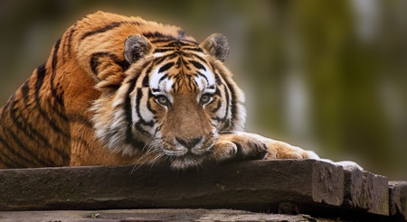 Stunning tiger relaxing on warm day with head on front paws photo