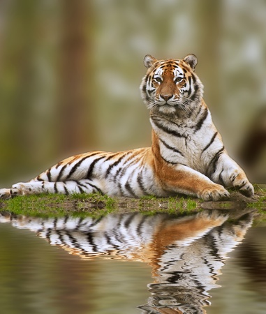 the amur: Reflection of beautiful alert tiger in water Stock Photo