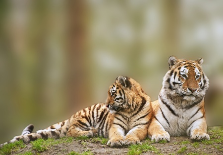 Beautiful tigress relaxing on grassy hill with cub photo