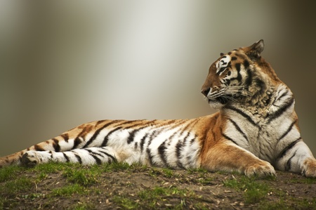 Beautiful image of tiger relaxing on grassy bank photo