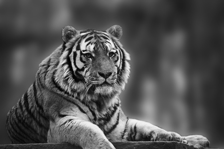Beautiful tiger relaxing on warm day in monochrome photo