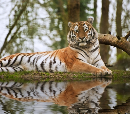 Beautiful tiger relaxing on warm day reflection in water photo