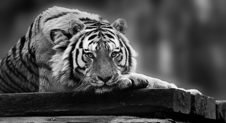 panthera: Stunning tiger relaxing on warm day with head on front paws in monochrome