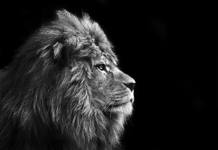 fierce: Eye catching portrait of male lion on black background in monochrome Stock Photo