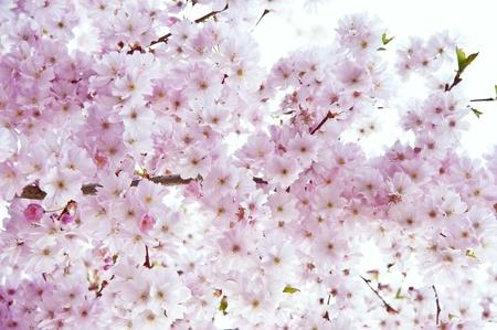 high key: Bella brillante alta immage chiave di dettaglio albero di primavera in fiore