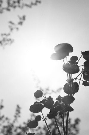 calceolaria: Lovely monochrome image of ladys pure flower with bright shining sun behind creating silhouette