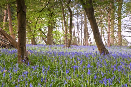 mystical forest: Beautiful fresh colorful Spring image of bluebell flower wood