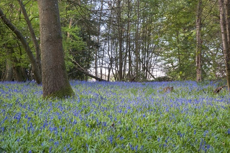 Beautiful fresh colorful Spring image of bluebell flower wood photo
