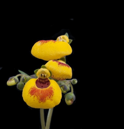 calceolaria: Close up of ladys purse flower calceolaria Spring flower Stock Photo