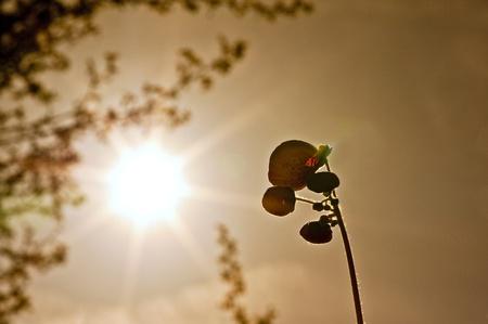 calceolaria: Sole al tramonto arancione si illumina fiore nella borsa della signora in estate