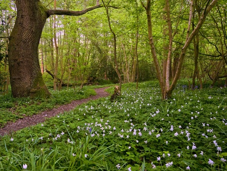Lovely fresh colorful image of bluebell woods in Spring with carpet of white anemones Stock Photo - 9412597