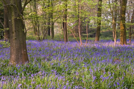 bluebell woods: Lovely fresh colorful image of bluebell woods in Spring Stock Photo