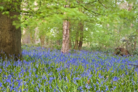 bluebells: Beautiful fresh colorful Spring image of bluebell flower wood oil painting