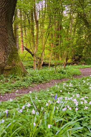 bluebell woods: Lovely fresh colorful image of bluebell woods in Spring with carpet of white anemones Stock Photo