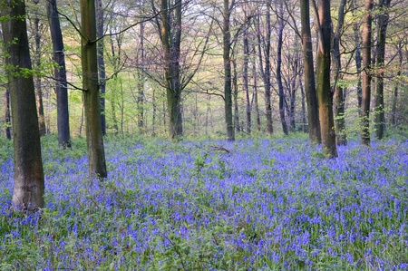 bluebells: Lovely fresh colorful image of bluebell woods in Spring Stock Photo