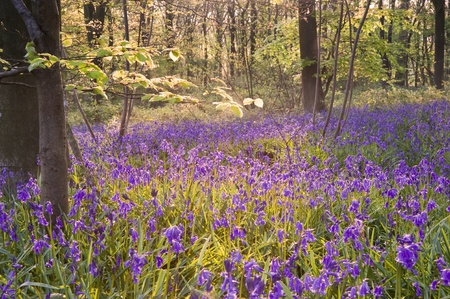 Lovely fresh colorful image of bluebell woods in Spring Stock Photo - 9439695