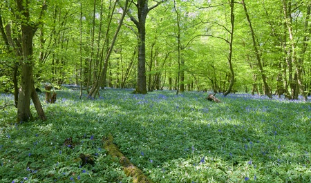 Lovely fresh colorful image of bluebell woods in Spring Stock Photo - 9439701