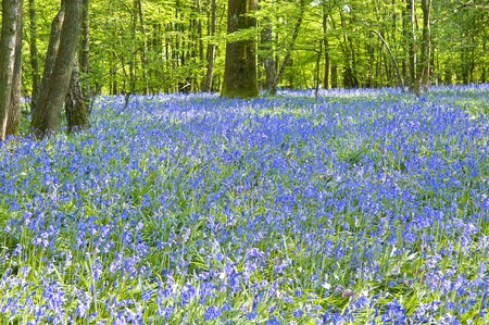 Beautiful warm morning light streaming through trees in bluebell woods in Spring Stock Photo - 9472856