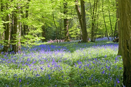 Beautiful warm morning light streaming through trees in bluebell woods in Spring Stock Photo - 9472885
