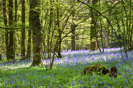 Beautiful warm morning light streaming through trees in bluebell woods in Spring Stock Photo - 9472884