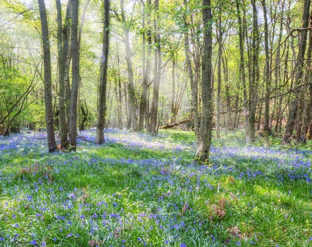 bulbous: Beautiful image of sun beams breaking through forest canopy onto carpet of bluebells underneath Stock Photo