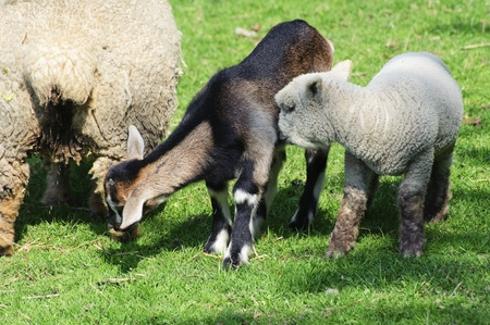 Young Spring lamb and kid goat grazing together on lush green grass Stock Photo - 9472770