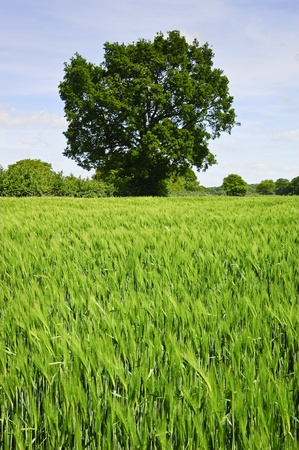 Beautiful image of agricultural field growing corn with single oak tree and vivid blue sky background Stock Photo - 9472820