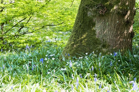 Beautiful warm morning light streaming through trees in bluebell woods in Spring Stock Photo - 9505709