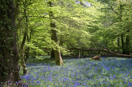 Beautiful warm morning light streaming through trees in bluebell woods in Spring Stock Photo - 9505724
